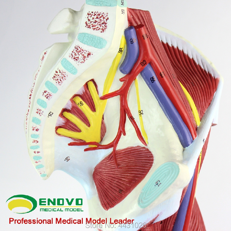 Vascular Anatomy Diagram Lower 2008 Nissan Altima Stereo Wiring Enovo Human Limb Muscle Nerve Model Leg Movement System Medical In Science From Office School Supplies On