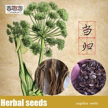 100pcs Chinese Angelica Female Ginseng Seeds, Traditional Medicine Angelica Sinensis Seeds