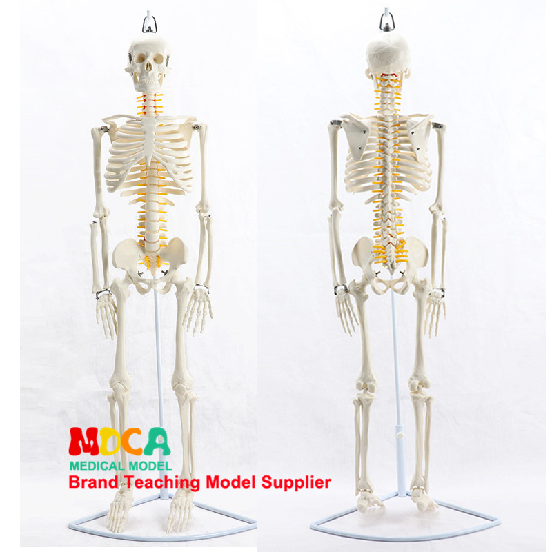 85CM Hanging Type Human.skeleton Spinal Nerve Model Medical Yoga Fitness Learning Bone Model MGG202