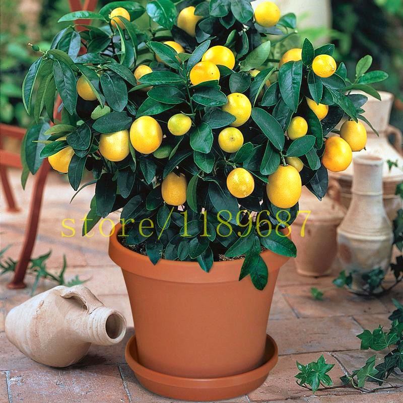 50pcs Lemon Tree Seeds Indoor Fruit Bonsai Plants Citrus Potted Mandarin Orange Seeds Summer Flower Perennial Blooming Plants