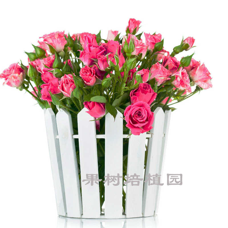 225 & Red Roses Plant Indoor Green Plant Potted Flowers And Plants ...