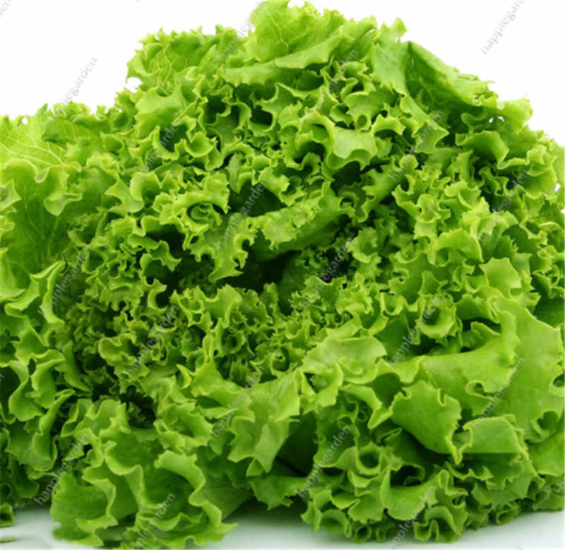 New 1000 pcs Greek Lettuce bonsai good taste, easy to grow, great salad choice ,DIY Home potted plants,organic vegetable herb
