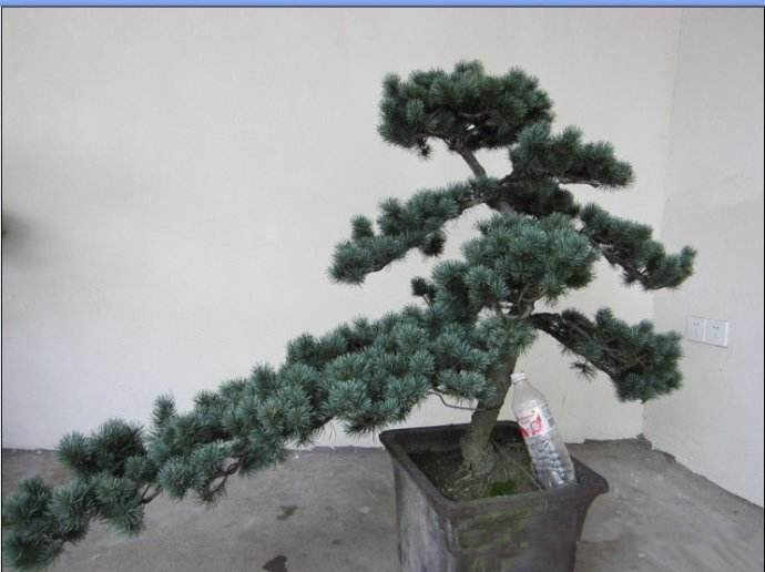 Bonsai 10 Pcs/bag Cedrus Deodara Conifer Indoor Tanaman Bonsai Pohon Biru Muda Deodara Cedar Pot