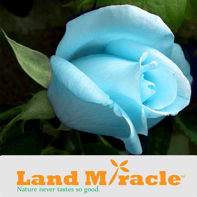roses bleu-achetez des lots à petit prix roses bleu en provenance