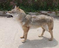 Моделирование волк предметы мебели украшения дома Американский сельская идиллия Мех животных животного образцы дикие волки модель