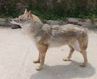 The simulation Wolf furnishing articles Home decoration American rural idyll Fur animal specimens of wild wolves model