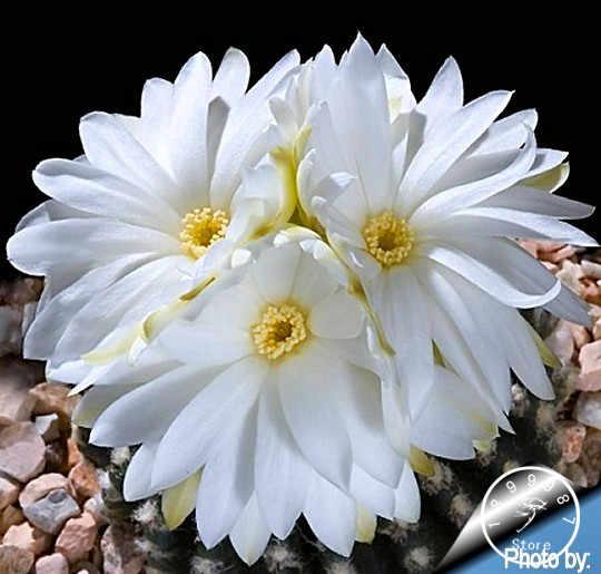 "Vendita calda! 100 pz/pacco ""Strombocactus disciformis"" Cactus giardino bonsai semi di Piante Succulente semi di fiori rari flores vaso di fiori fioriere, # 73R50U"
