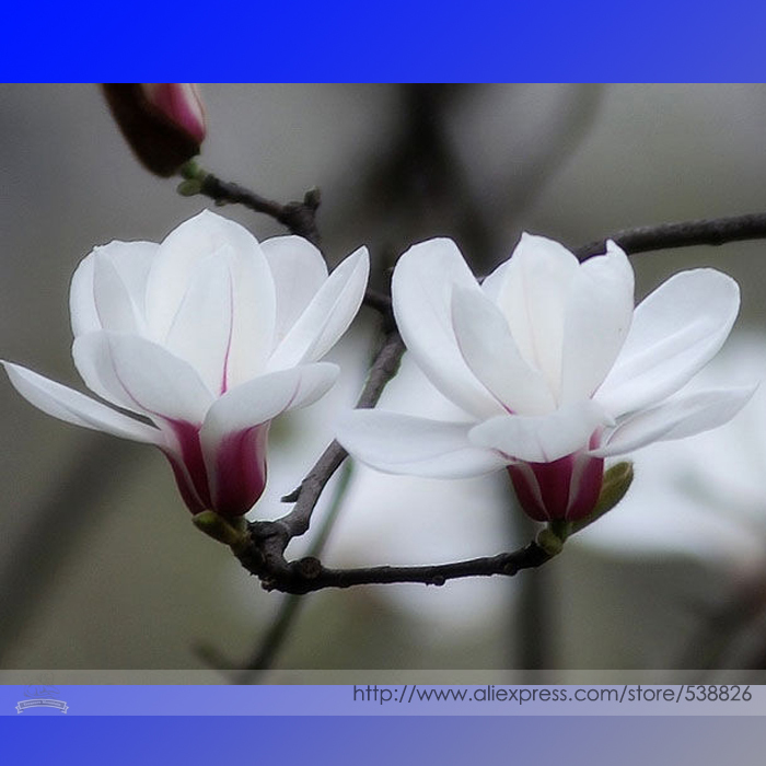 White Yulan Magnolia Tree Seeds, Professional Pack, 10 Seeds / Pack, No Need Grafting Growing White Flowers Directly #NF999