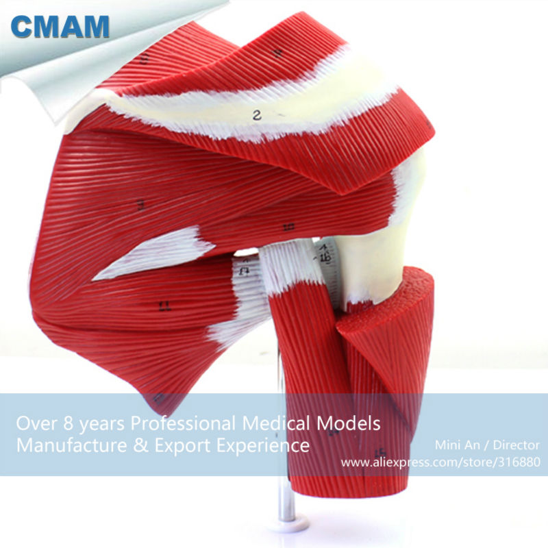 CMAM-MUSCLE13 Life Size Human Shoulder Joint Muscle Tendon Model for Fitness Guidance life size foot joint model human skeleton model human foot