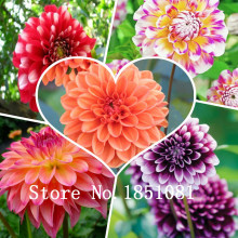 Rare Purple Dahlia Seeds Beautiful Perennial Flowers Seeds Dahlia for DIY Home Garden - 100 PCS bansai plants