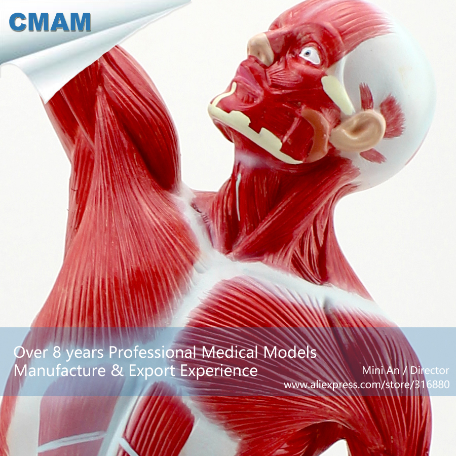 CMAM-MUSCLE05 Desktop 55cm Human Muscle Model on Stand,  Medical Science Educational Teaching Anatomical Models cmam spine01 human life size classic spine model with stand medical science educational teaching anatomical models