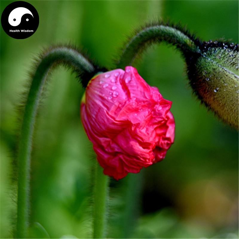 Buy field poppy flower semente 100pcs plant papaver rhoeas flowers buy field poppy flower seeds online plant beautiful flower papaver rhoeas bonsai for family garden flowers mightylinksfo