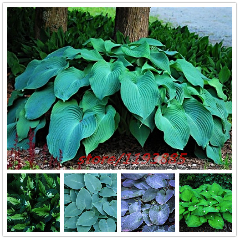 100pcs/bag hosta plants, Hosta 'Whirl Wind' in full shade, hosta flower, flower seeds, grass seeds, Ornamental Plants for home garden