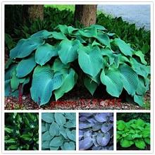 100pcs/bag hosta plants,Hosta 'Whirl Wind' in full shade,hosta flower,flower seeds,grass seeds,Ornamental Plants for home garden