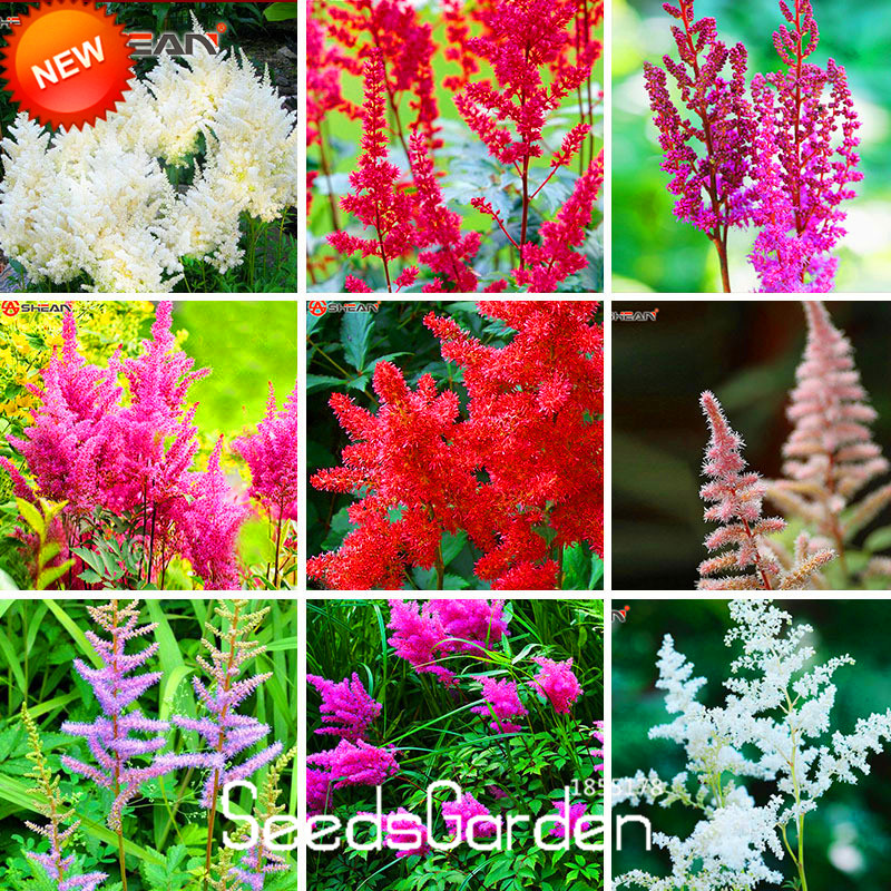 New 2018!6 Color Astilbe Chinensis Bonsai Balcony Garden Potted Chinese Astilbe Flower Plant,100 Pcs/bag,#o66u4y Home & Garden Bonsai