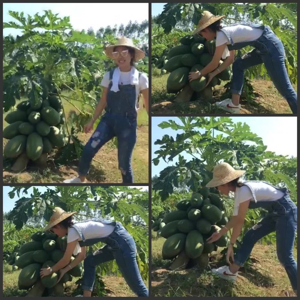 Super Sweet Tasty - High Yield Fresh Dwarf Papaya Fruit Semillas - 50pcs FINEST Semillas