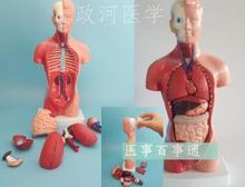 Anatomy model of human internal organs of the trunk of a human body 28CM medical teaching tool skeleton