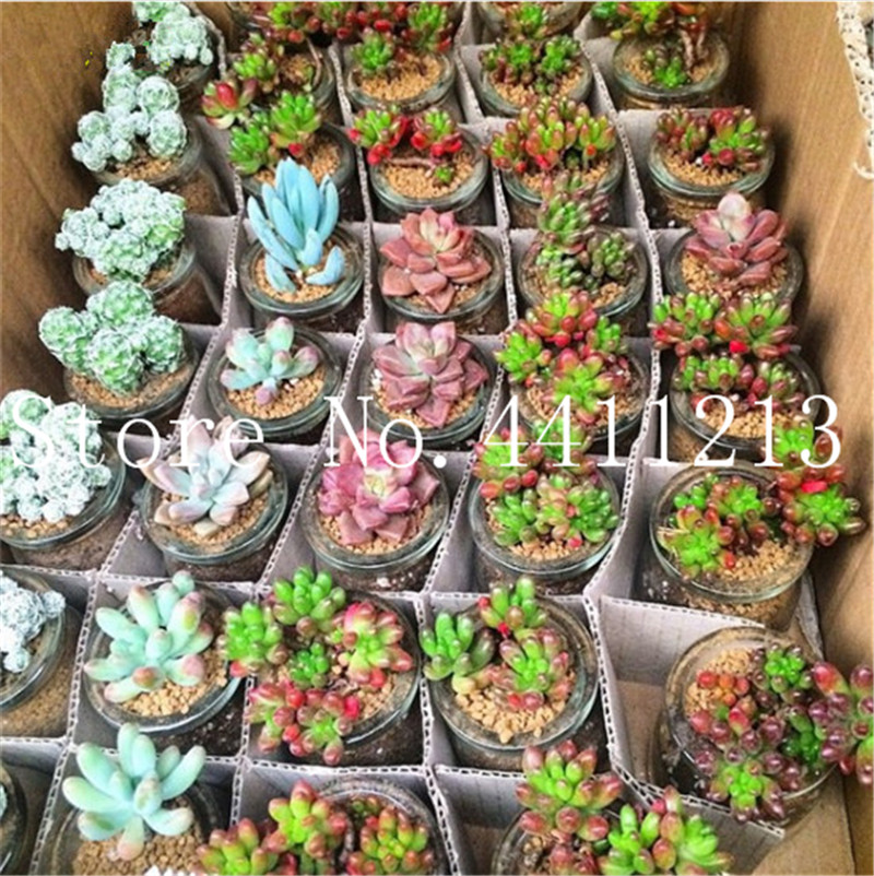 Sale 100 Pcs Mini Succulent Bonsai Lotus Lithops Pseudotruncatella Bonsai Rare Succulent Plant Home & Garden Flower Pots Planter