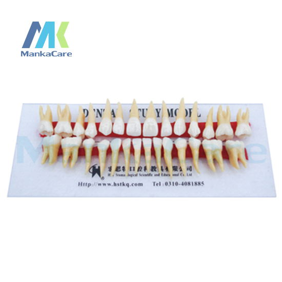 Manka Care - Anatomically Rooted Two Colors Teeth/Anatomy natural size,crown and root are in two color Oral Teeth Tooth Model
