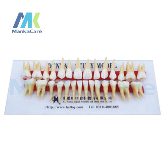 Manka Cuidar-Anatomicamente Enraizada Duas Cores Dentes/Anatomia do tamanho natural, coroa e raiz estão em duas cores Oral Dente Dentes Modelo