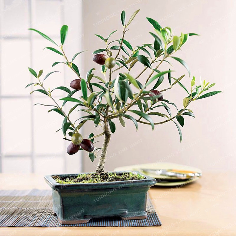 Rare Olive Bonsai Tree (Olea Europaea) Seeds Bonsai Fresh Exotic Tree Seeds Mini Olive Tree Olive Bonsai Garden Supplies 10PCS Plant Stand
