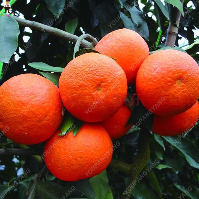 20PCS Bonsai Orange Potted Edible Tangerine Citrus Fruit Dwarf Orange Tree Indoor Plant For Home Garden plants