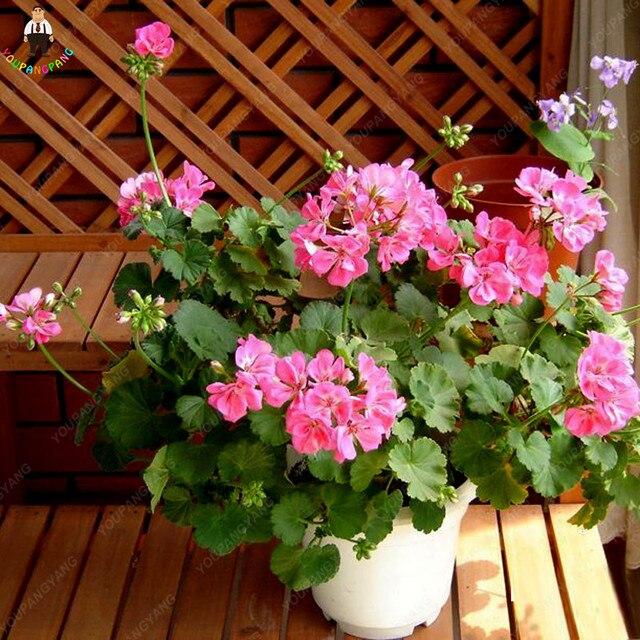 50 Sztuk Geranium Bonsai Ogrod Kwiaty Wieloletnia Roslina Diy Do