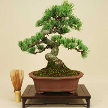 FREE SHIPPING 50pcs/Bag Japanese Pine Tree Seeds bonsai flower easy to plant DIY