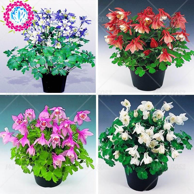 100pcs/bag Aquilegia bonsai Seeds Perennial Aquilegia Viridiflora Pall Flower Seeds Beautiful Flower Pot Planter For Home Garden