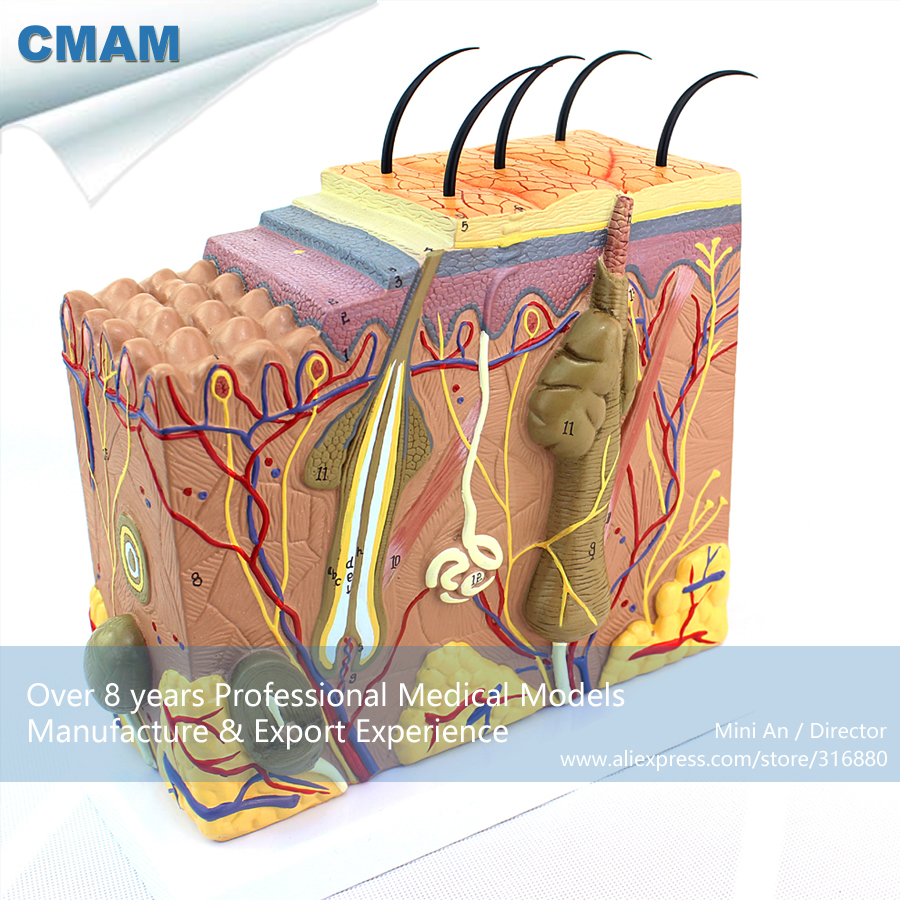 12530 CMAM-SKIN01 Anatomical Human Skin Structure Section Block Model 70x, Medical Science Educational Anatomical Models 70x life size anatomical human skin block model medical dermatology anatomy