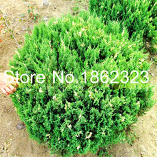 Bonsai 30 pcs Juniper Tree Bonsai Potted office desktop Ornamental Plants Purify The Air Absorb Harmful Gases For Home Garden