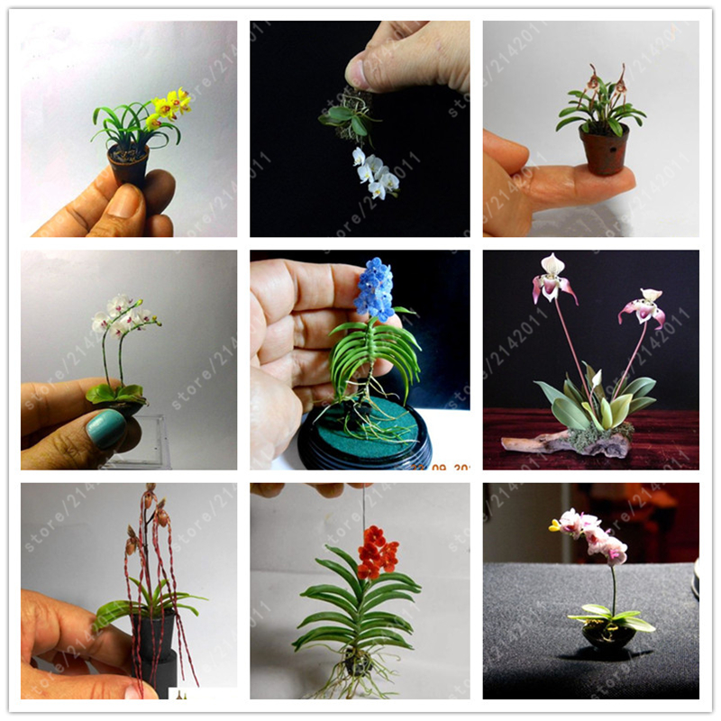 100pcs/bag mini orchid seeds phalaenopsis orchid pot bonsai flower seeds indoor plant rare potted orchid for miniature garden