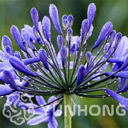 Free Shipping,100PCS Agapanthus Africanus Seeds , Home Garden flower,easy care and drought tolerant high germination rate 95%