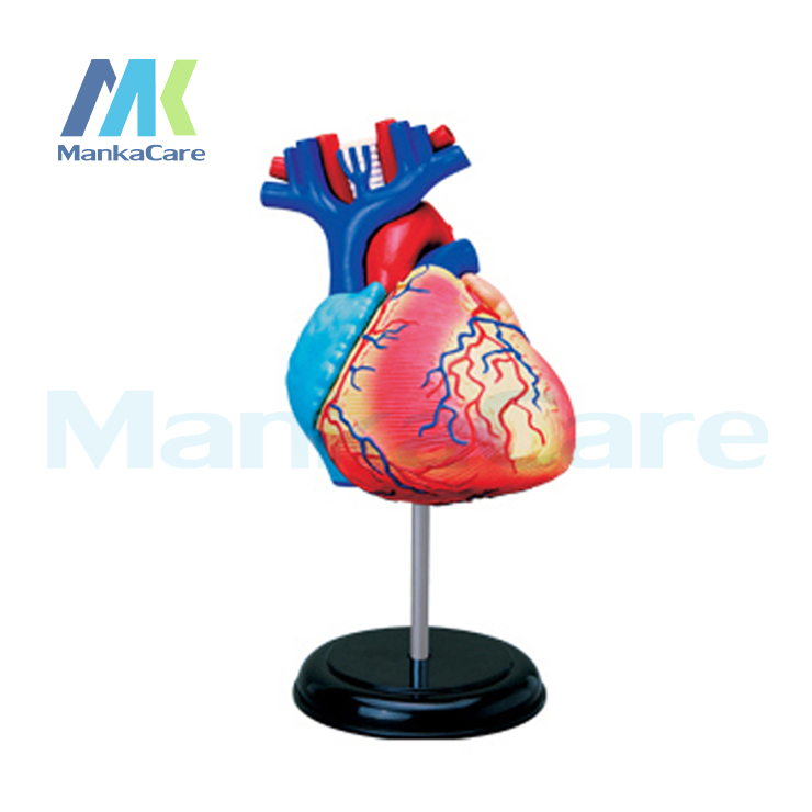 4D master model colored heart assembled Human Anatomy dimensional ...