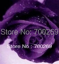 Wholesale - -200 China Rare Purple Rose seeds  for Lover's Gift  Free shipping Flower seeds MS5
