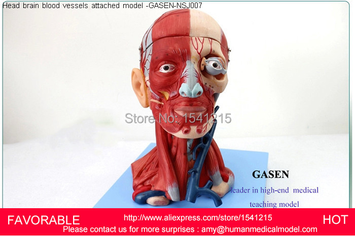 HEAD AND NECK WITH VESSELS,  NEUROVASCULAR ATTACHED BRAIN MODEL HEAD AND FACE MUSCLE NERVE ANATOMICAL STRUCTURE-GASEN-NSJ007 economic half head with vessels model anatomical head model with brain nerves vascular muscles and vessels