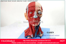 HEAD AND NECK WITH VESSELS,  NEUROVASCULAR ATTACHED BRAIN MODEL HEAD AND FACE MUSCLE NERVE ANATOMICAL STRUCTURE-GASEN-NSJ007
