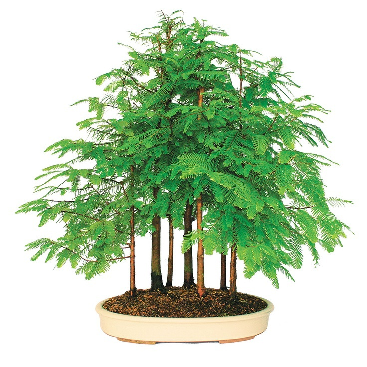200pcs Dawn Redwood Bonsai Tree Grove – Metasequoia glyptostroboides,DIY home gardening! Very easy to grow! ornamental-plant