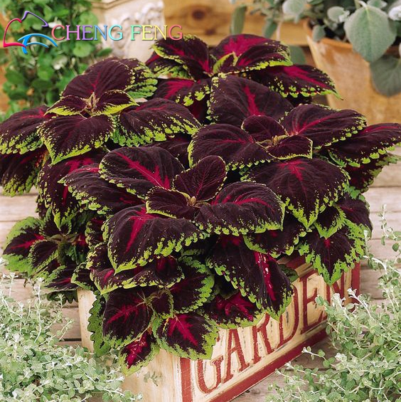 100 real coleus blumei plants rare rainbow mix color flower plants