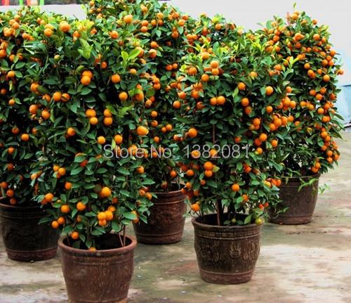50 kumquat semillas de plantas en maceta fruta semillas for Frutas ornamentales