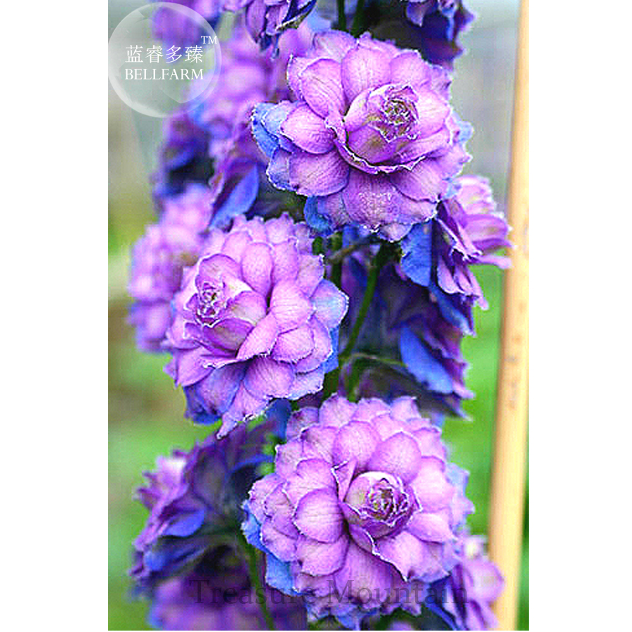 Aliexpress.com : Buy BELLFARM Different Types Of Delphinium Perennial  Flowers, 100 Seeds, Big Blooms Beautiful Home Garden Flower Plant TS273T  From Reliable ...