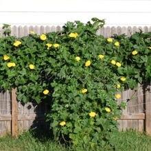 20 Organic Sponge Gourd Luffa loofa Cylindrica seeds Vegetable