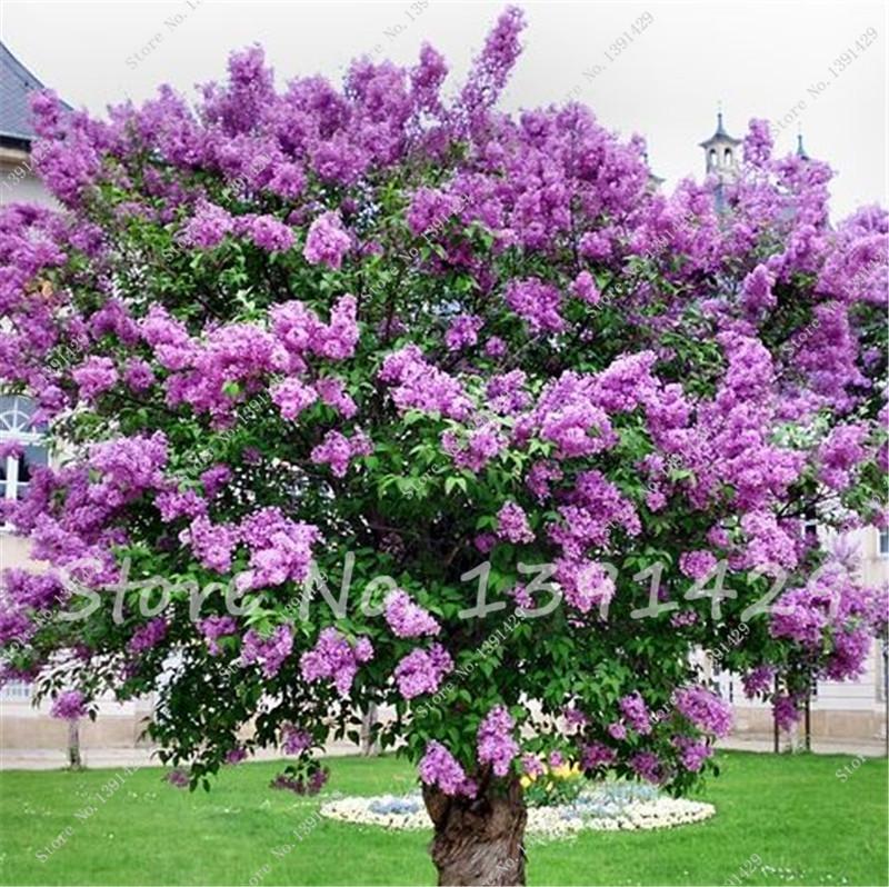 purple lilac flower semillas del rbol diente de semillas de flores unids