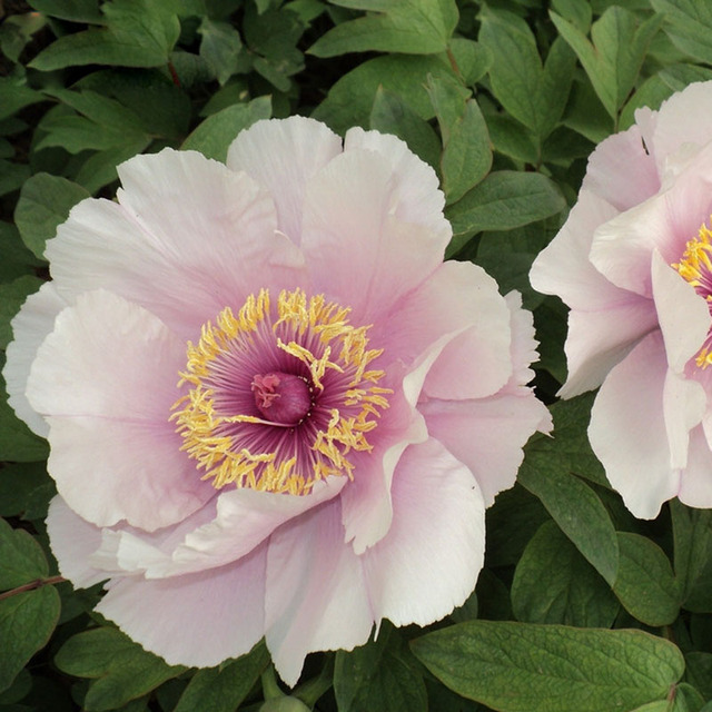 Hot sale rare pink lotus peony flower seeds potted flowers bonsai hot sale rare pink lotus peony flower seeds potted flowers bonsai plant seeds for home garden mightylinksfo
