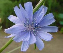 Chicory Cichorium Intybus Flower Plants