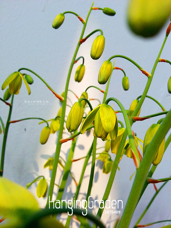 Hot Sale!100 PCS/Bag Trachyandra revoluta Seeds Thin leaves Free Shipping, their homes, potted plants,#GU9ELP