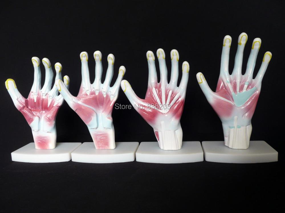 life-size Human Hand/Palm Structure Anatomical Model Model Heart anatomy skull brain model mixer in trauma esqueleto anatomia car tpms bluetooth tire pressure monitoring system app display support android and apple systems for peugeot toyota and all cars