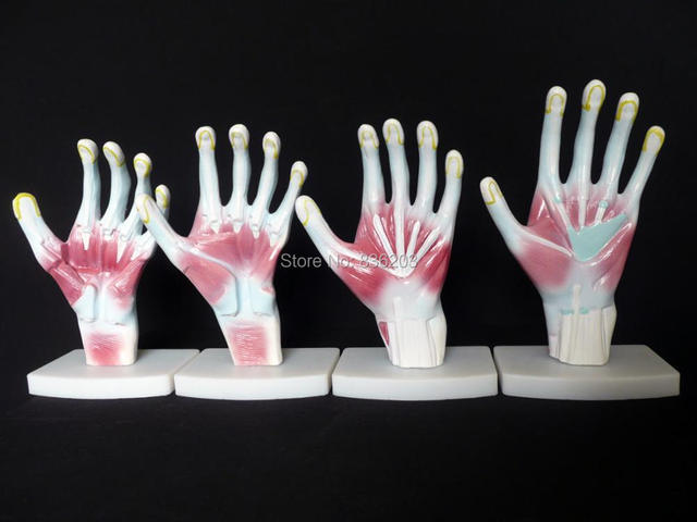 Aliexpress.com : Buy life size Human Hand/Palm Structure Anatomical ...