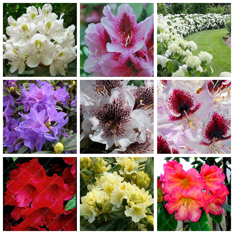 Us 0 18 75 Off Bonsai 100 Pcs Bag Bright Flower Anese Azalea Potted Rhododendron Outdoor Tree Plant Diy Home Garden Easy Grow On