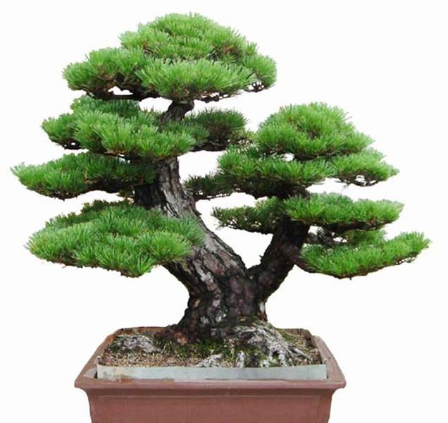 50pcs/Bag Pine Tree Seeds bonsai flower easy to plant DIY